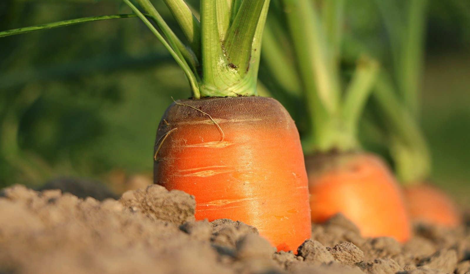 carrot growing